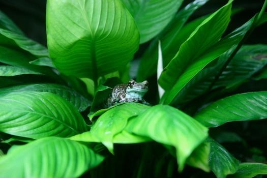 Aethusa cynapium (Clarke)